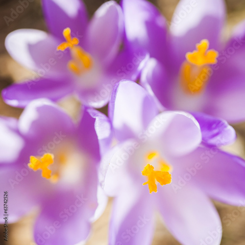 Close -up of violet small crocus flowers