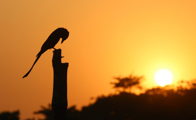 Black Drongo at sunset