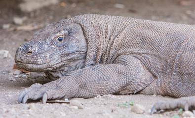 Dragon Komodo