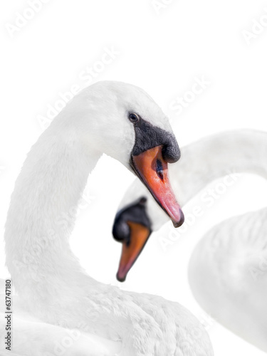 Couple of white swans – isolated