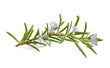 canvas print picture - rosemary flowers