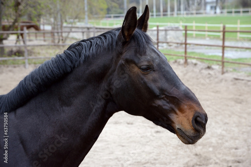 head of dark brown horse