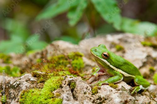 Foto op Canvas Kikker Green Tree Frog