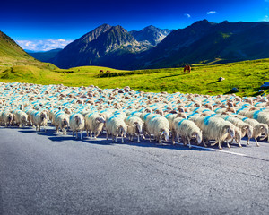 Sheeps walking on road
