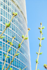 Vivid photo of green buds against office building in spring.