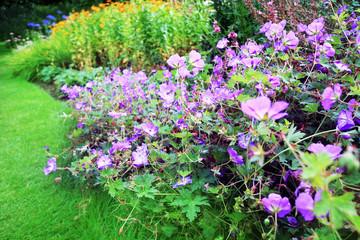 Purple geranium flowers in the garden