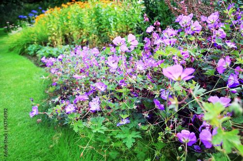 Aluminium Lilac Purple geranium flowers in the garden