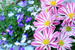 Tiger Striped daisy flower and lobelia