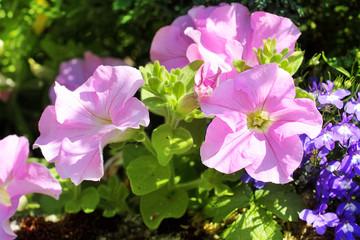 Pink petunia flowers in the garden