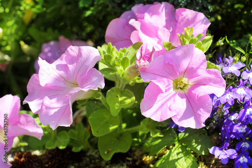 Pink petunia flowers in the garden