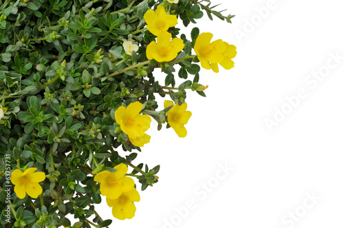Portulaca flower isolated on white background