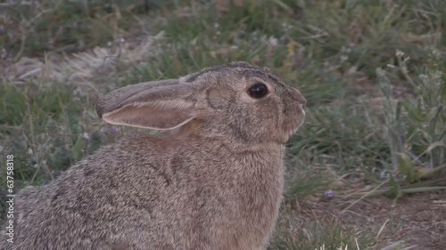Cottontail Rabbit Zoom Out
