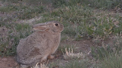 Cottontail Rabbit Zoom In