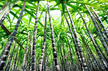 sugarcane plants grow at farmland