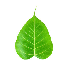 Pipal or Bo leaf - isolated on white