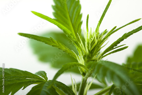 Marijuana bud on white background