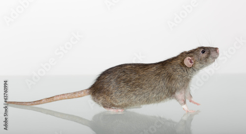 brown domestic rat closeup