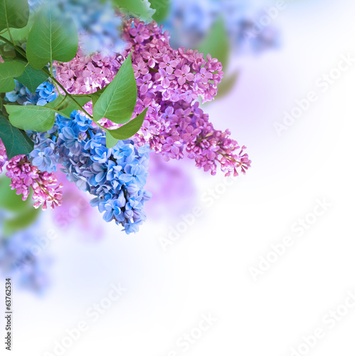 The branch of blue and pink lilac floral background.