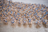 Soldier crab on the march in their hundreds.