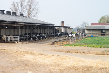 Kühe in einem Kuhstall