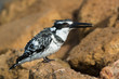 Pied Kingfisher with ruffled feathers holding a fish in its beak