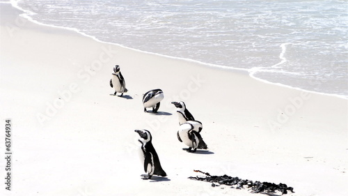 African Penguins at the beach