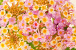 canvas print picture - fleurs de lantana camara, corbeille d'or, galabert
