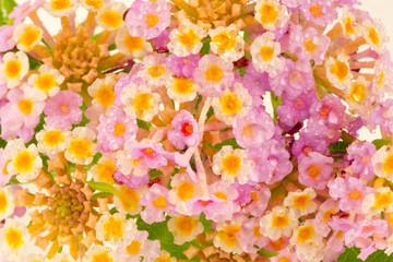 fleurs de lantana camara, corbeille d'or, galabert