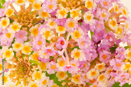 canvas print picture fleurs de lantana camara, corbeille d'or, galabert