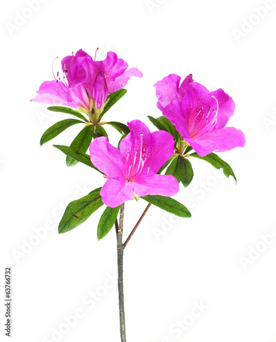 Fotobehang Azalea Azalea flower isolated on white
