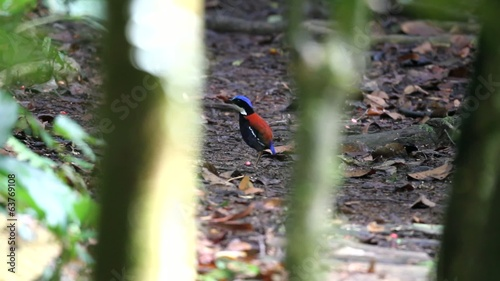 Blue-headed Pitta (Hydrornis baudii) in Borneo, Malaysia