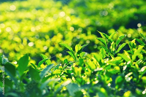 Leaves of tea