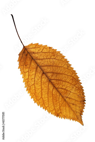 golden leaf isolated on white background