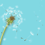 White dandelion with pollens isolated - 63772121