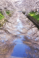 五条川の桜並木