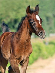 beautiful purebred arabian little foal
