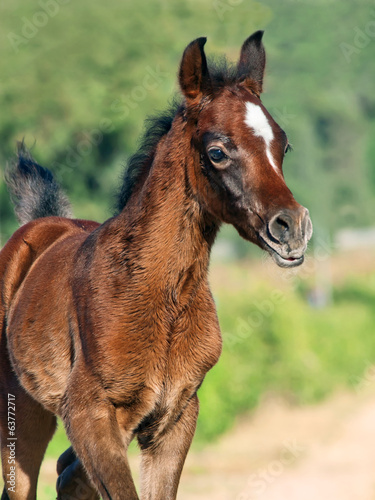 beautiful purebred arabian little foal