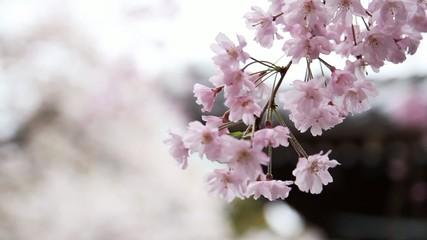 桜と寺_1