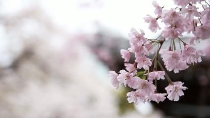 桜と寺_3