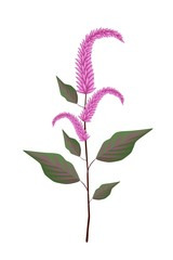 Fresh Red Amaranth on A White Background