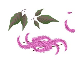 Parts of Amaranthus Cruentus Plant on White Background