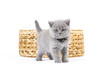 canvas print picture - Britisch Kurzhaar BKH Kitten / British Shorthair