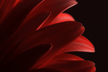 Abstract red flower petals on dark background. Macro