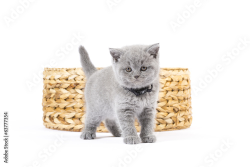 canvas print picture Britisch Kurzhaar BKH Kitten / British Shorthair