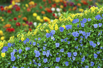 Colorful small flowers in garden