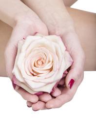 Rosa bianca tra le mani