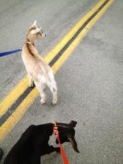 Training Pack Goats