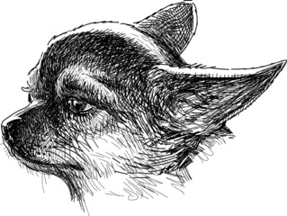 head of chihuahua
