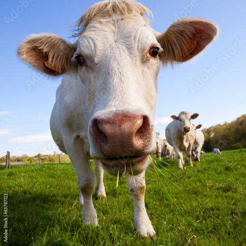 Papiers peints Vache Vache au pré