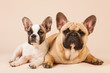 French bulldogs laying on cream background